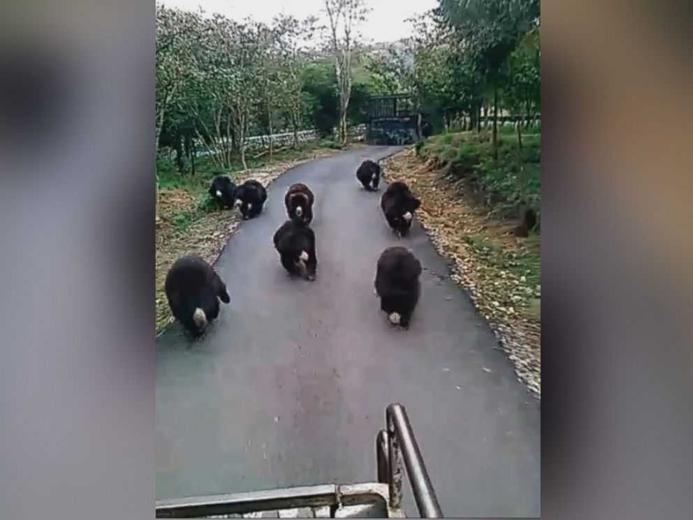 Video Captures 9 Hungry Bears Chasing Food Truck