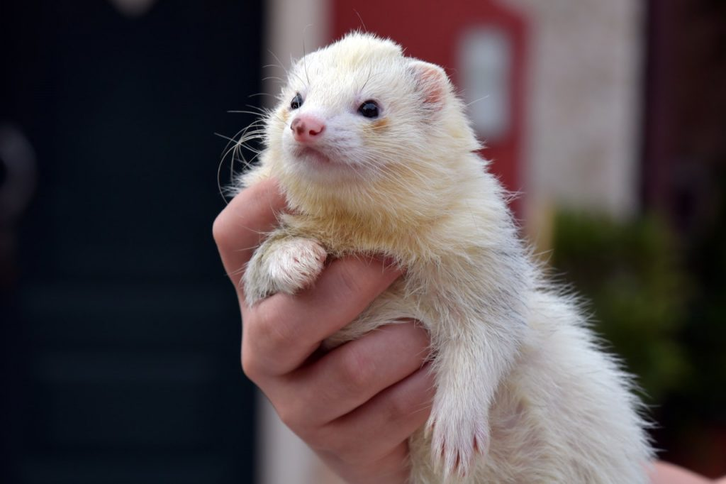 Ferret for bingo